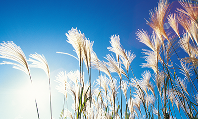 Japanese silver grass against blue sky